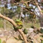 A perereca Hypsiboas prasinus é uma espécie comum no local