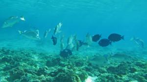 Cardume em piscina no atol. Foto: Renato Morais Araujo/UFSC