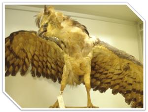 """""""Morphnus guianensis"""", ave ameaçada no estado de Santa Catarina"""