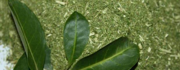 Folhas-de-Erva-Mate